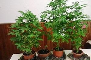 coltivazione di cannabis piantagione di marijuana