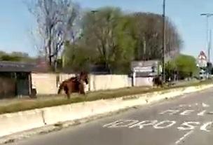 cavalli forlanini