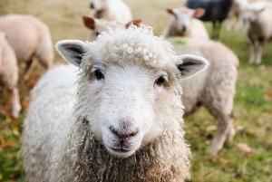 pecore politica pd liste