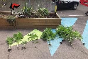 Piante di marijuana nelle fioriere di Piazza Tripoli